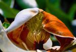 Magnolia Opening