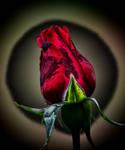 Magical Rosebud