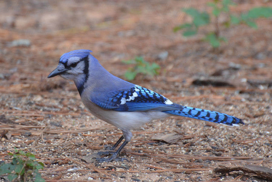 blue jay 5 16 12 by tailgun2009 d507f0a