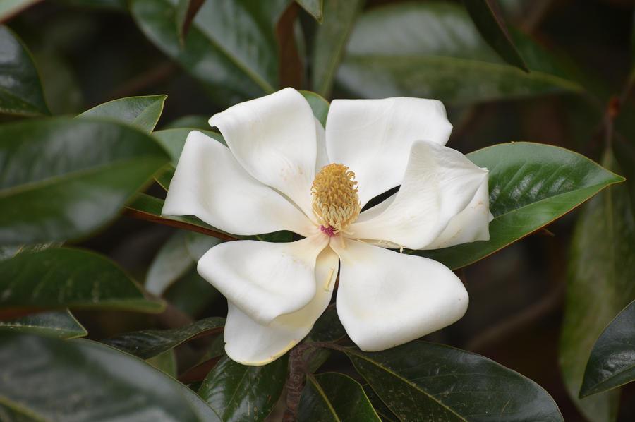 Magnolia 2 5-28-12 by Tailgun2009