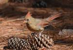 Female Cardinal 10-11-12