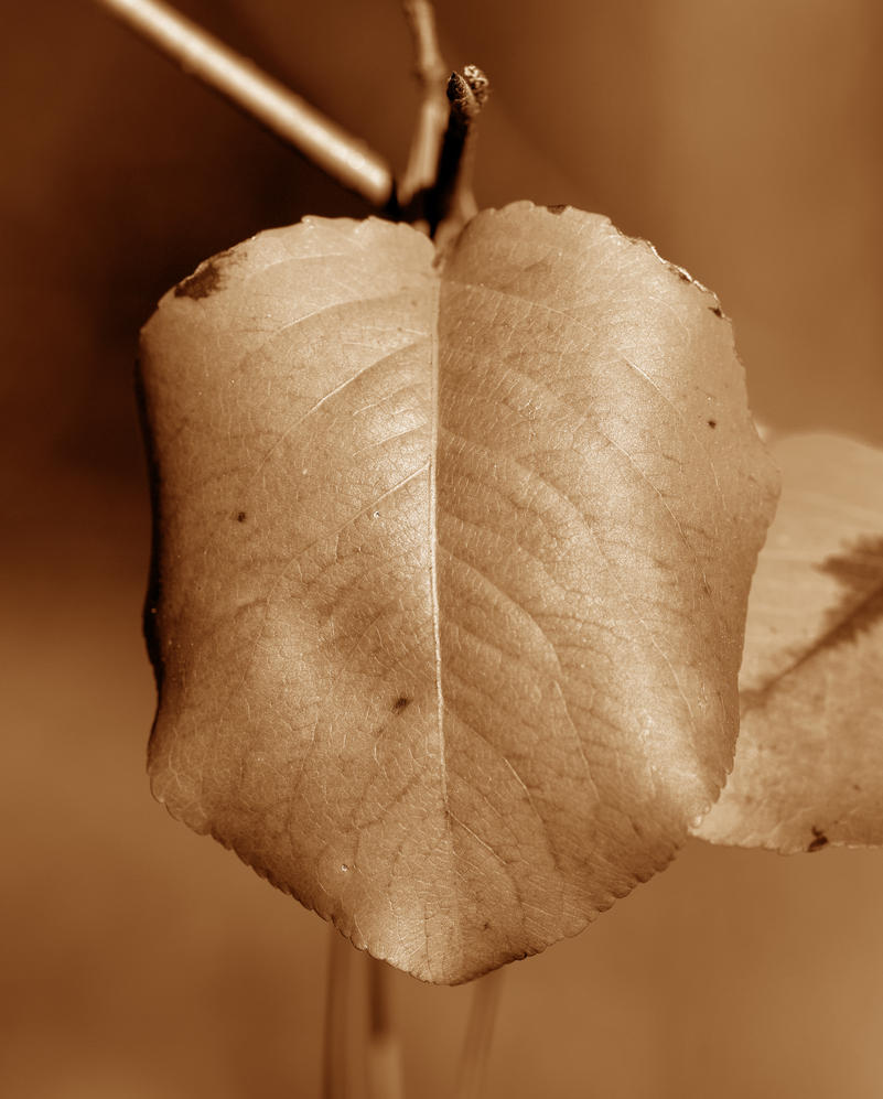 Leaf in Sepia 11/22/12 by Tailgun2009