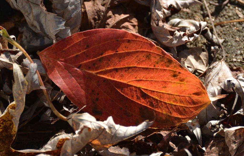 Fallen Leaf 10-28-14 by Tailgun2009