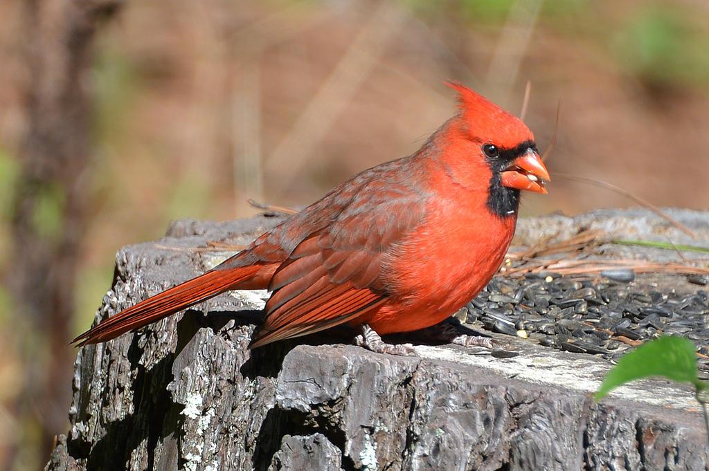 Male Cardinal 10-18-15 by Tailgun2009