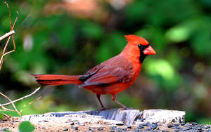 Male Cardinal 4-28-2018 by Tailgun2009