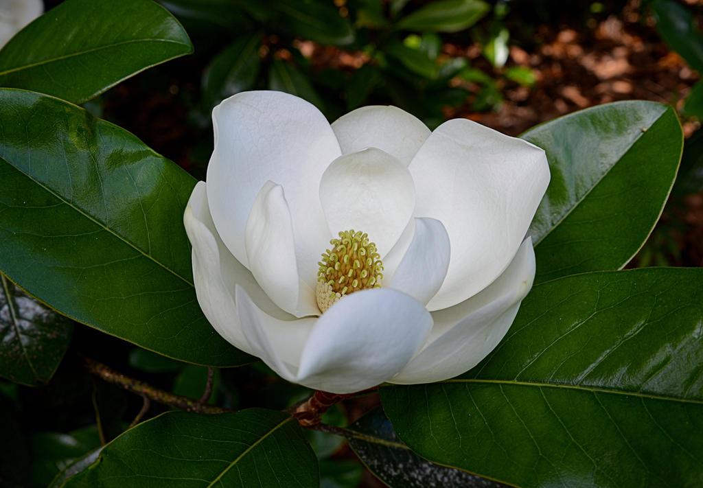 Magnolia unfolding June 6 2018