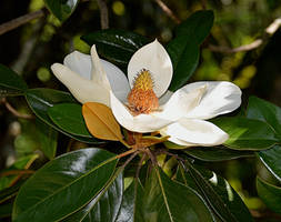 Another Magnolia by Tailgun2009