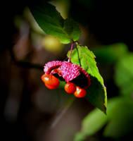 Strawberry Bush Blooms by Tailgun2009