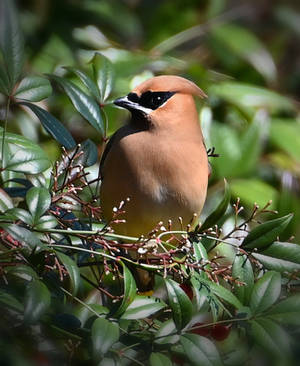 Waxwing Profile by Tailgun2009