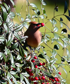 One More Waxwing