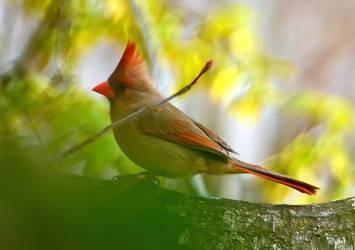 Female Cardinal by Tailgun2009