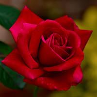 Wednesdays Rose by Tailgun2009