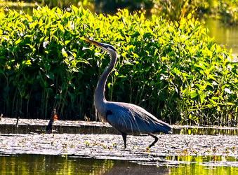 Blue Heron Posing by Tailgun2009