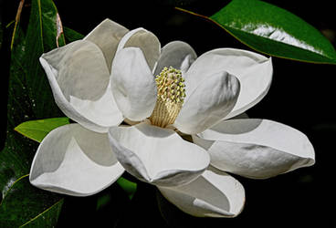 Georgia Magnolia by Tailgun2009