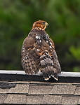 Red Shouldered Hawk