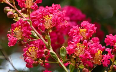 My Crepe Myrtle Blooming by Tailgun2009