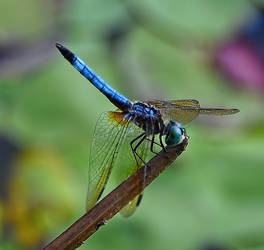 Dragonfly July 21 2019 by Tailgun2009