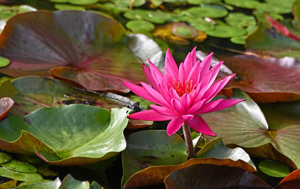 Another Swamp Lily by Tailgun2009