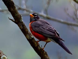 A Robin by Tailgun2009