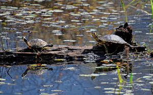 2 Turtles - Reflections Included