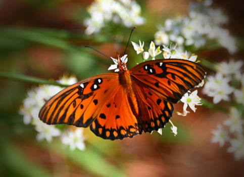 Another shot of this Gulf Fritillary