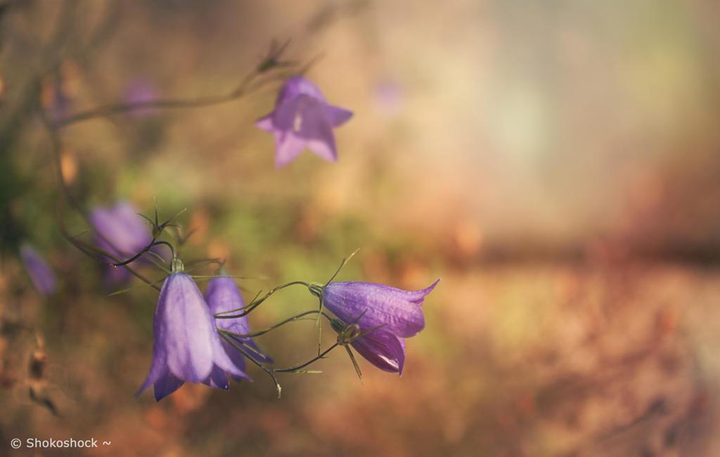 Violet. by shokoshock