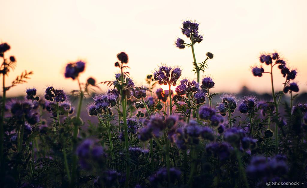 Lilac Fields ~ by shokoshock