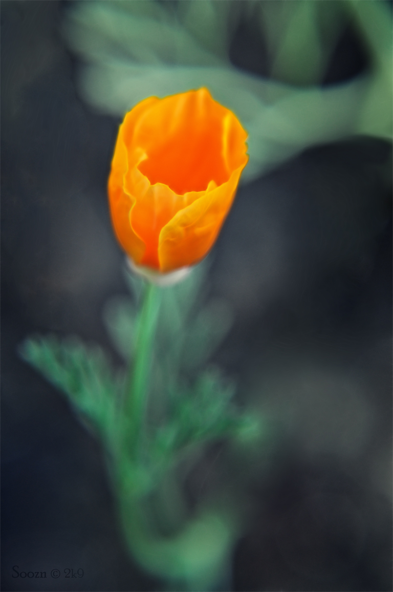 orange poppy by soozn