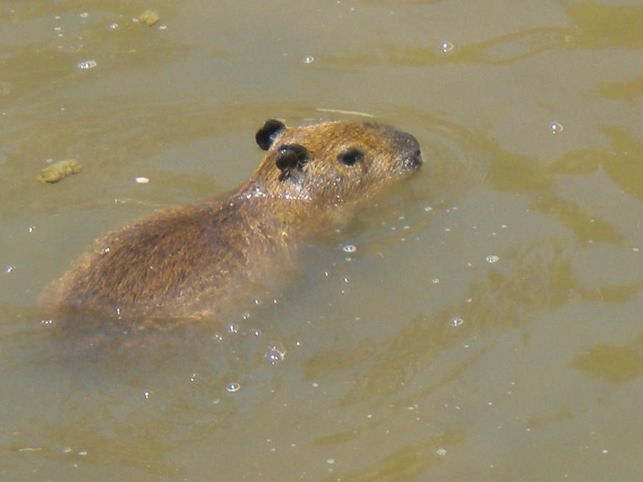 Baby capybara swimming by Icycold227 on DeviantArt