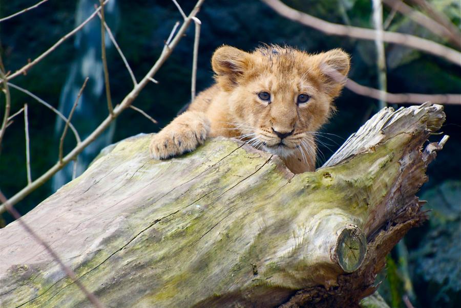 Lion Cub - Kiekaboo! by Frangster