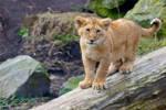 Lion Cub - I see you!