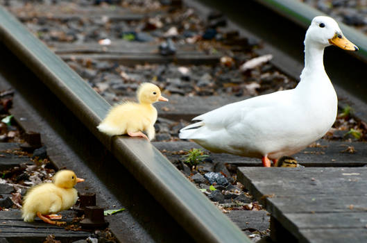 Ducks - Crossing the Railroad
