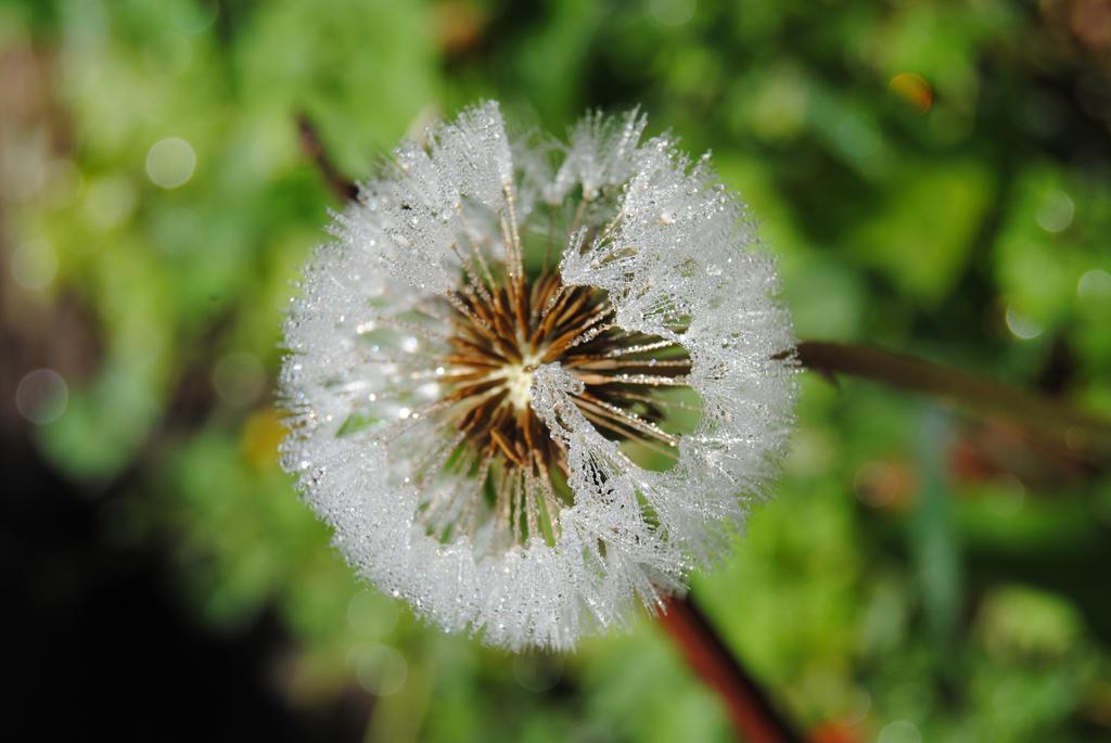 Dandelion with dew by Elmininostock