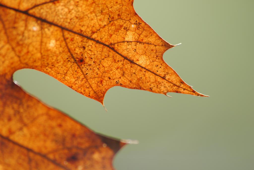 Backlit leaf by Elmininostock