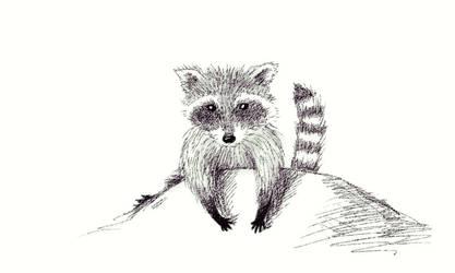 Raccoon sketch
