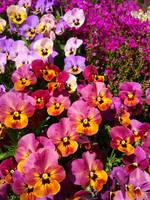 Vibrant Pansies by Lotus105