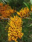 Grevillea robusta-Silky Oak Flowers by Lotus105