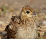 Portrait of a peafowl chick by Lotus105