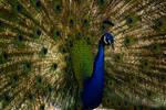 Peacock Sunlit Glow by Lotus105