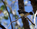 Little Cute Fledgling Willy Wagtail