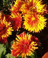 Dazzling Chrysanthemums