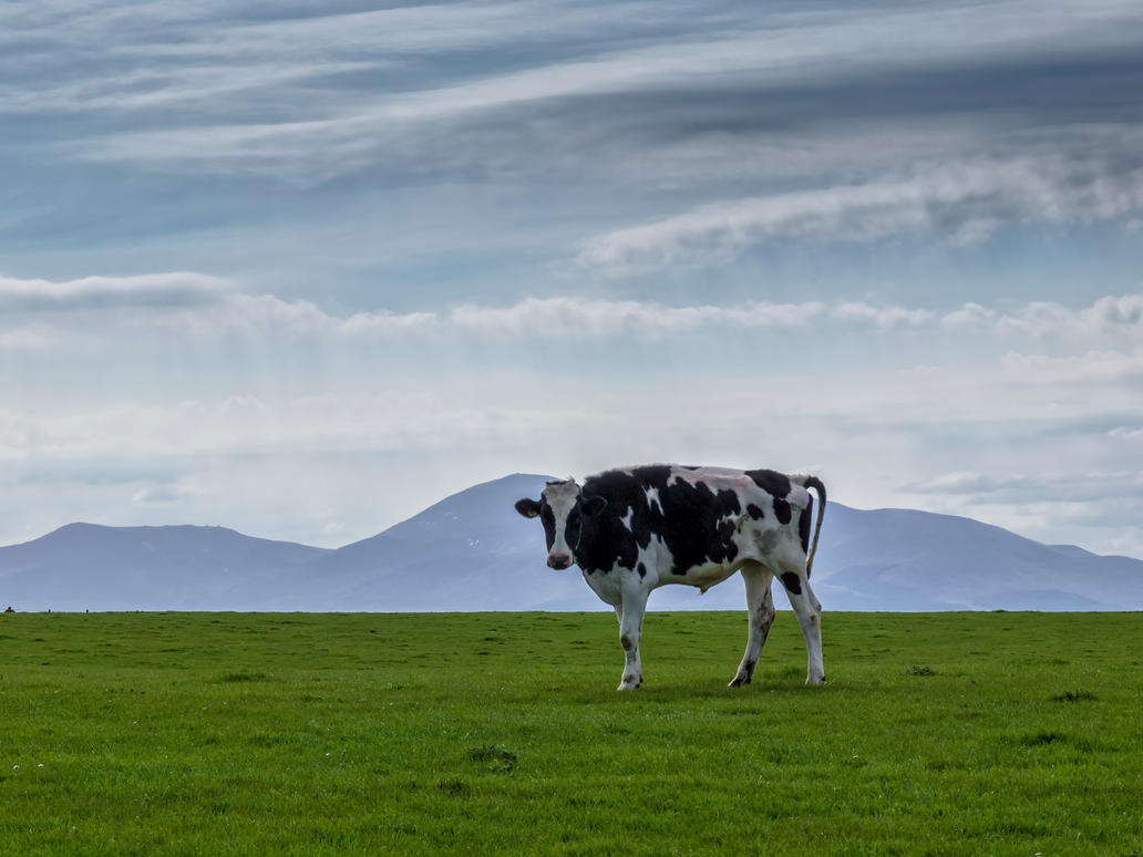 Mourning cow by peterpateman