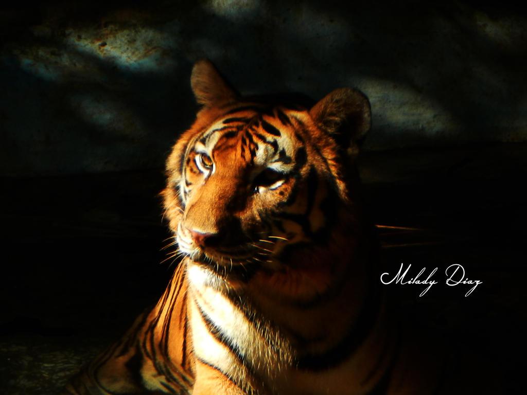 Tigreh by mitikiwostky