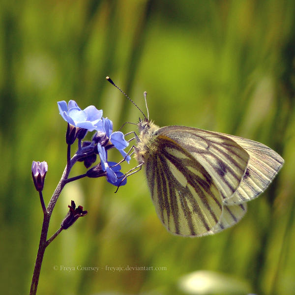 Green Veined White by FreyaPhotos