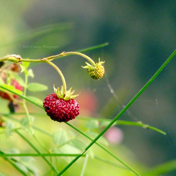 Wild Stawberries by FreyaPhotos