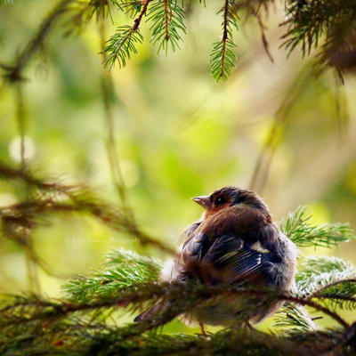Chaffinch in the Pine by FreyaPhotos
