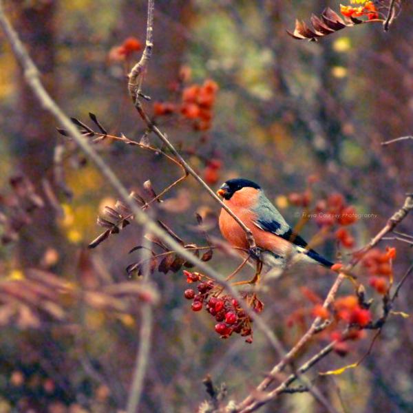 Bull Finch by FreyaPhotos