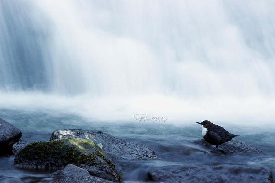 Dipper at the Falls by FreyaPhotos