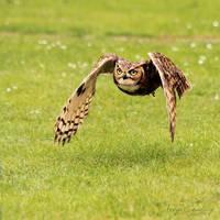 Owl Flight by FreyaPhotos