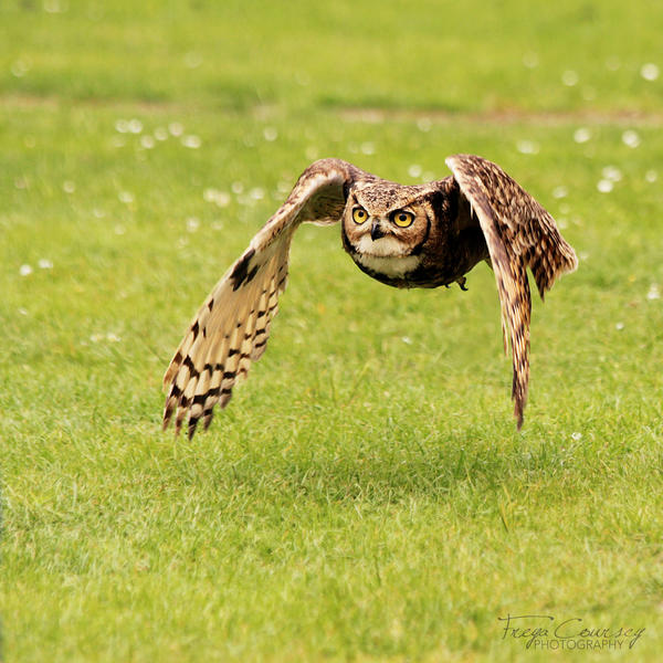 Owl Flight by FreyaPhotos